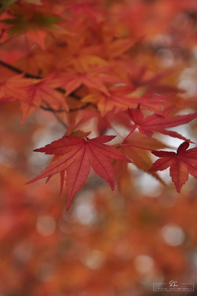 台中.和平 | 雨飄.秋瑟 | 福壽山農場秋日賞楓比比挫