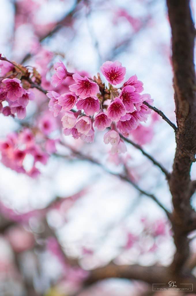 台北.陽明山 | 平菁街42巷櫻花季 | 追櫻一族不追可惜!