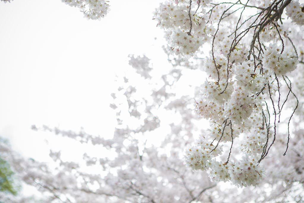 紐西蘭 | 基督城 Christchurch | 沐浴在櫻花雨下的海格利公園 Hagley Park
