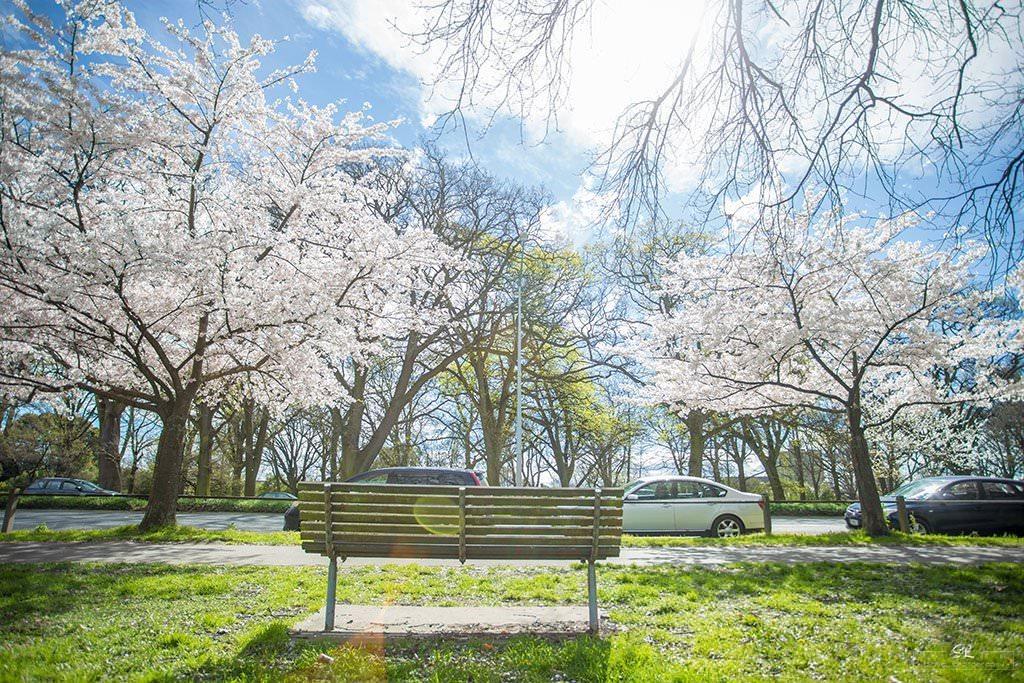 紐西蘭 | 基督城 Christchurch | 櫻花雨下的海格利公園 Hagley Park